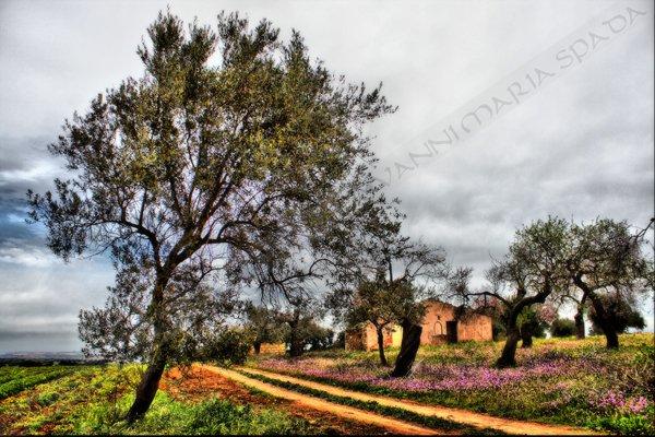 """Il """"massacro controllato"""" degli ulivi in Puglia. La Corte UE ha stabilito che le piante """"sane"""" a rischio infezione da Xylella sono da abbattere"""