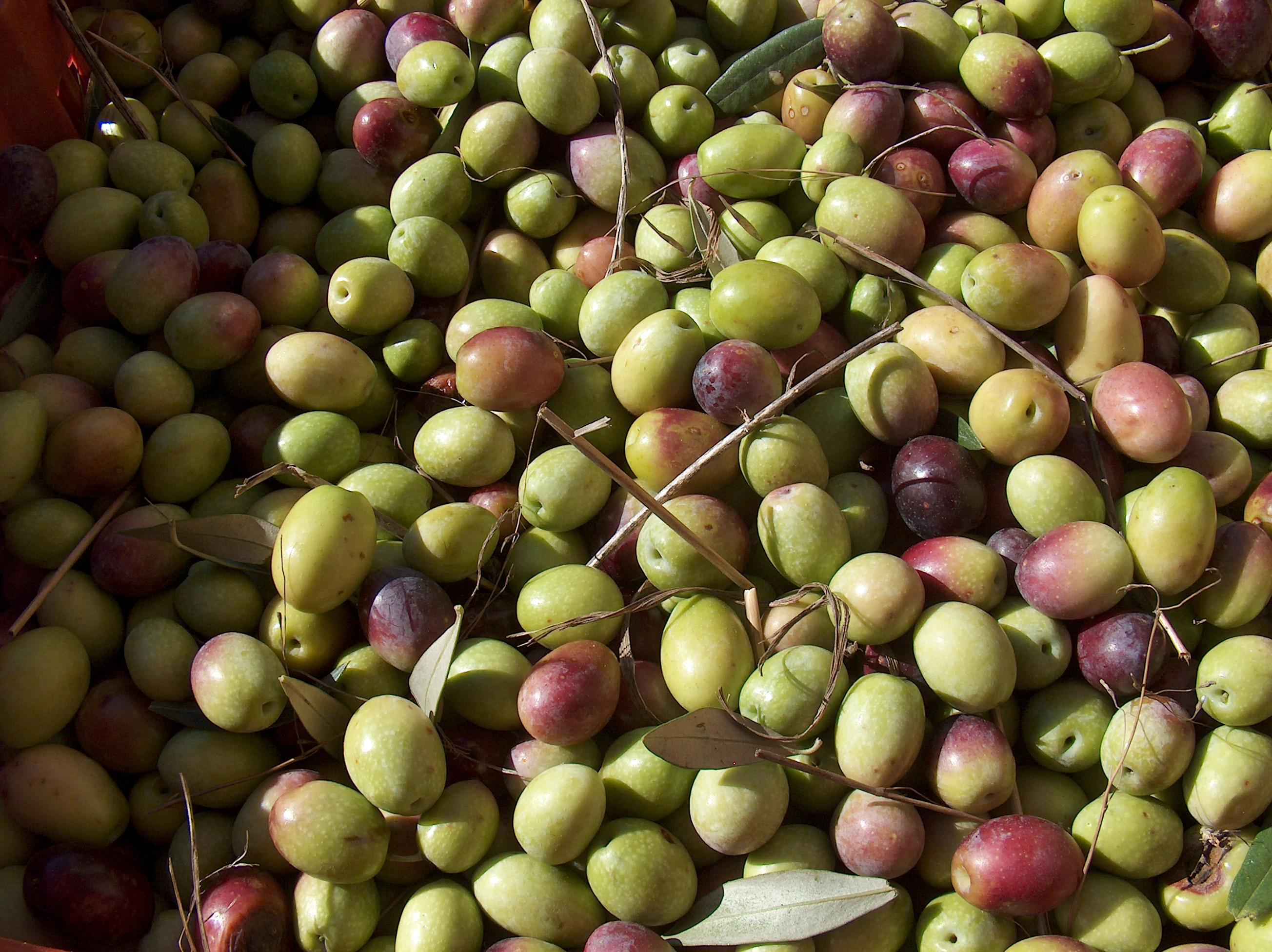 I polifenoli delle olive:  una ricchezza multiforme  dal mediterraneo al mondo