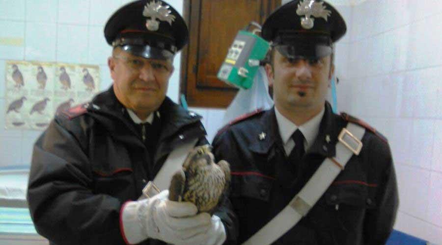 Baucina. Falco pellegrino salvato dai carabinieri