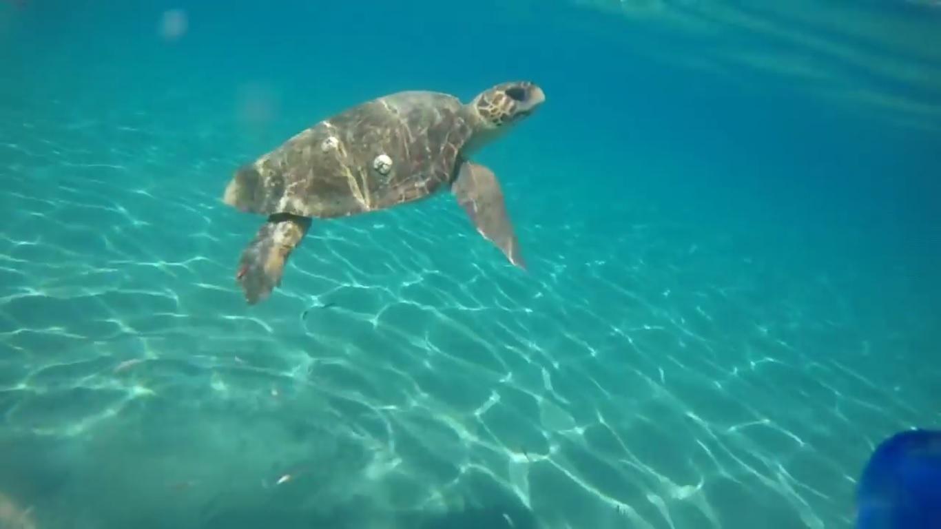 Salvata a Filicudi una tartaruga Caretta caretta