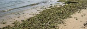Caucana alghe
