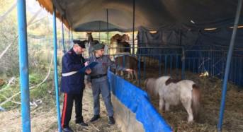 Carini. I carabinieri sequestrano 13 animali da circo per maltrattamenti
