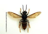"""Concordia sulla Secchia (Mo). Al via la campagna contro la vespa Velutina: """"Proteggiamo le api""""."""