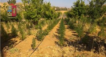 Enna. Scoperta dalla Polizia di Stato una vasta piantagione di marijuana