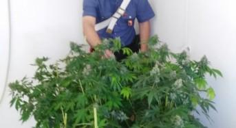 Scoperta dai carabinieri una coltivazione indoor: In manette un palermitano