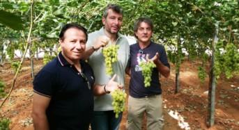 Auchan dedica ben due giorni a un Viaggio studio alla scoperta dell'Uva da Tavola di Mazzarrone Igp