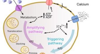 Diabete: un modello matematico fa luce sulle cause della malattia