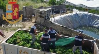 Arrestato vittoriese per coltivazione in serra di marijuana: Sequestrati 6.500 kg di marijuana e 3.500 mq di serre